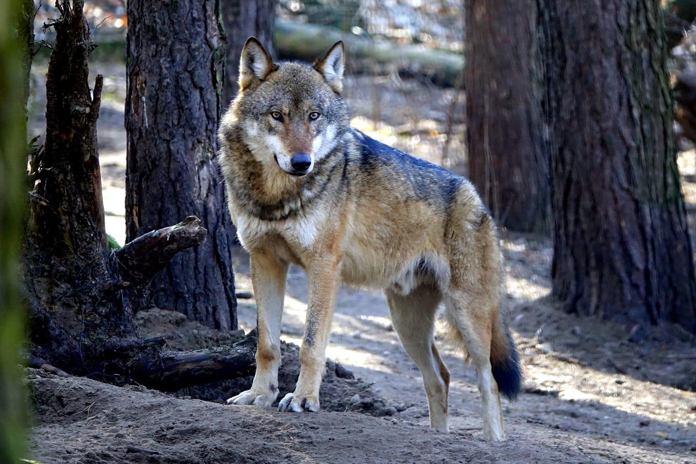Zoo Poznań chce pomóc podpoznańskim wilkom, które czeka odstrzał