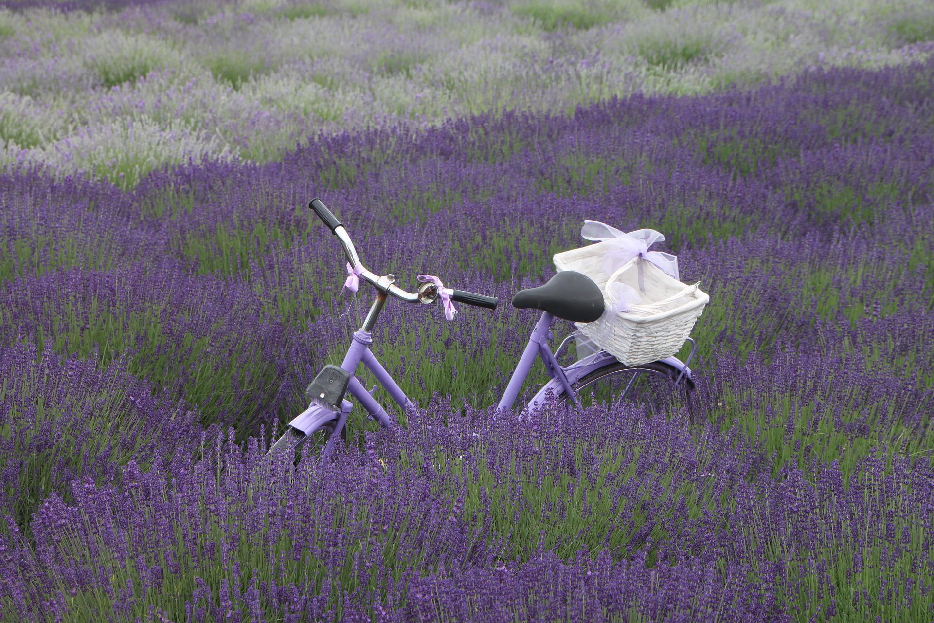 Pleszew stworzy… pachnące ścieżki rowerowe wśród lawendy i wrzosów