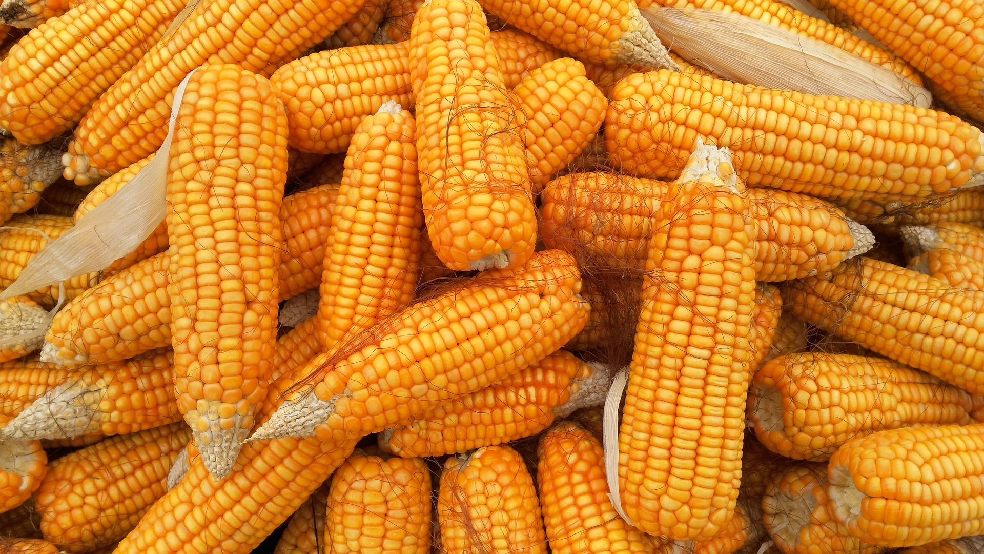 Kukurydza najdroższa od 8 lat