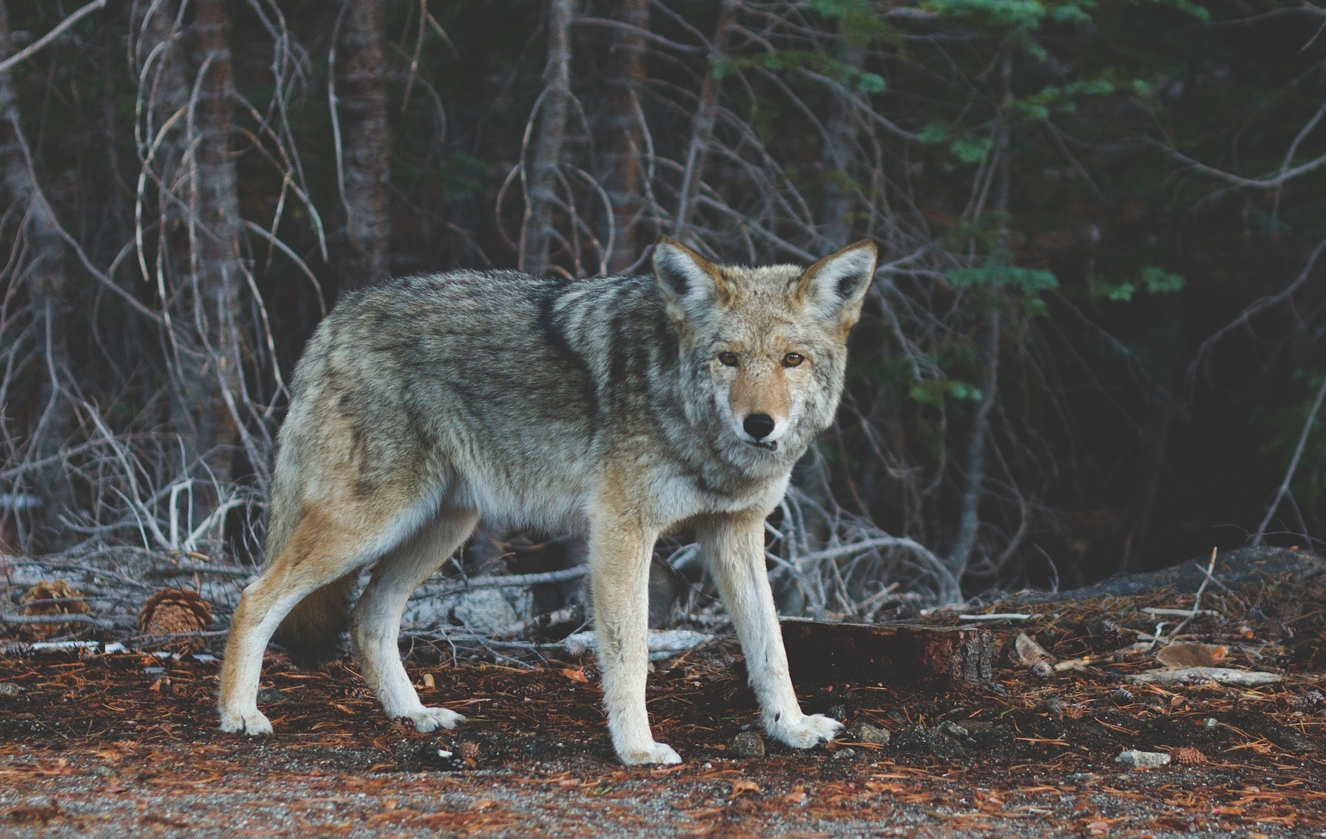 Widziany w Poznaniu wilk schwytany w rejonie autostrady A2