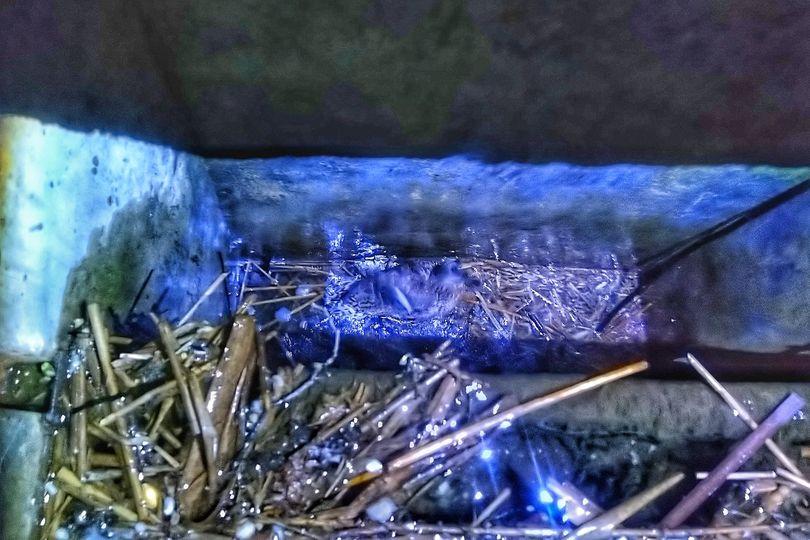 Eko Patrol uratował kaczkę, która wpadła do przepustu