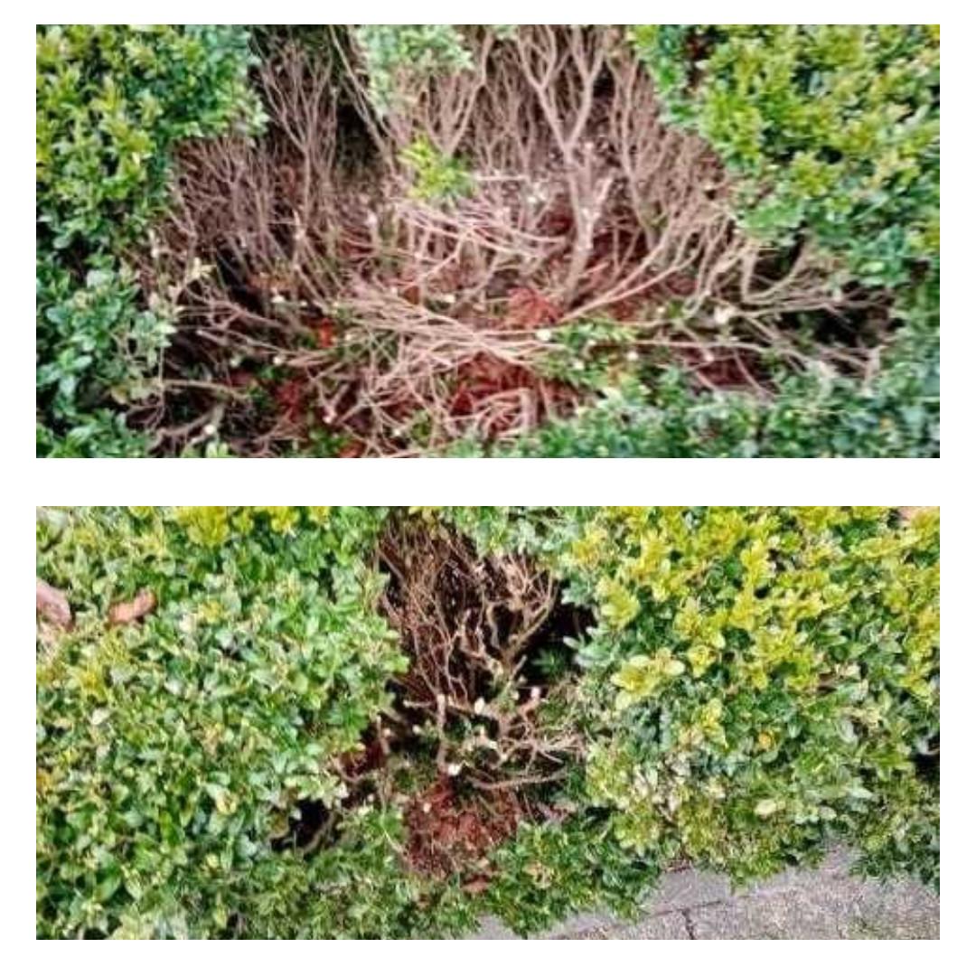 Ktoś zniszczył żywopłot w Ogrodzie Zamkowym. Odrastanie roślin potrwa kilka lat