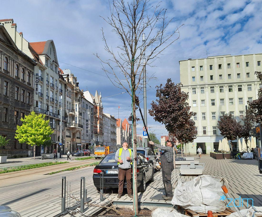 Z ul. św. Marcin znika kilka drzew. Dlaczego?