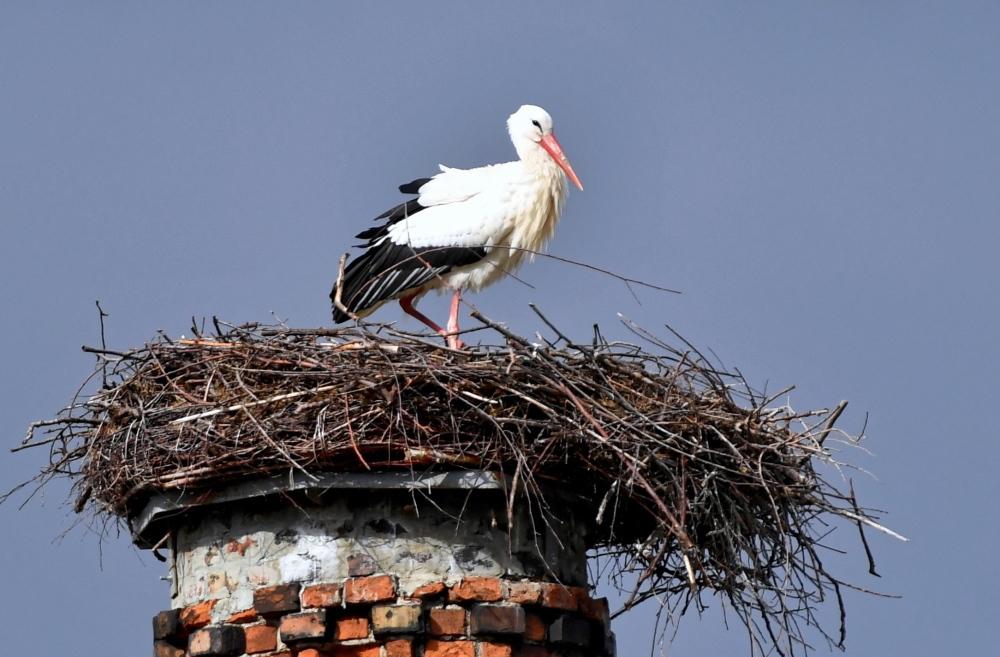 Ornitolodzy: wyrzucanie jajek z gniazda przez bociany jest naturalne