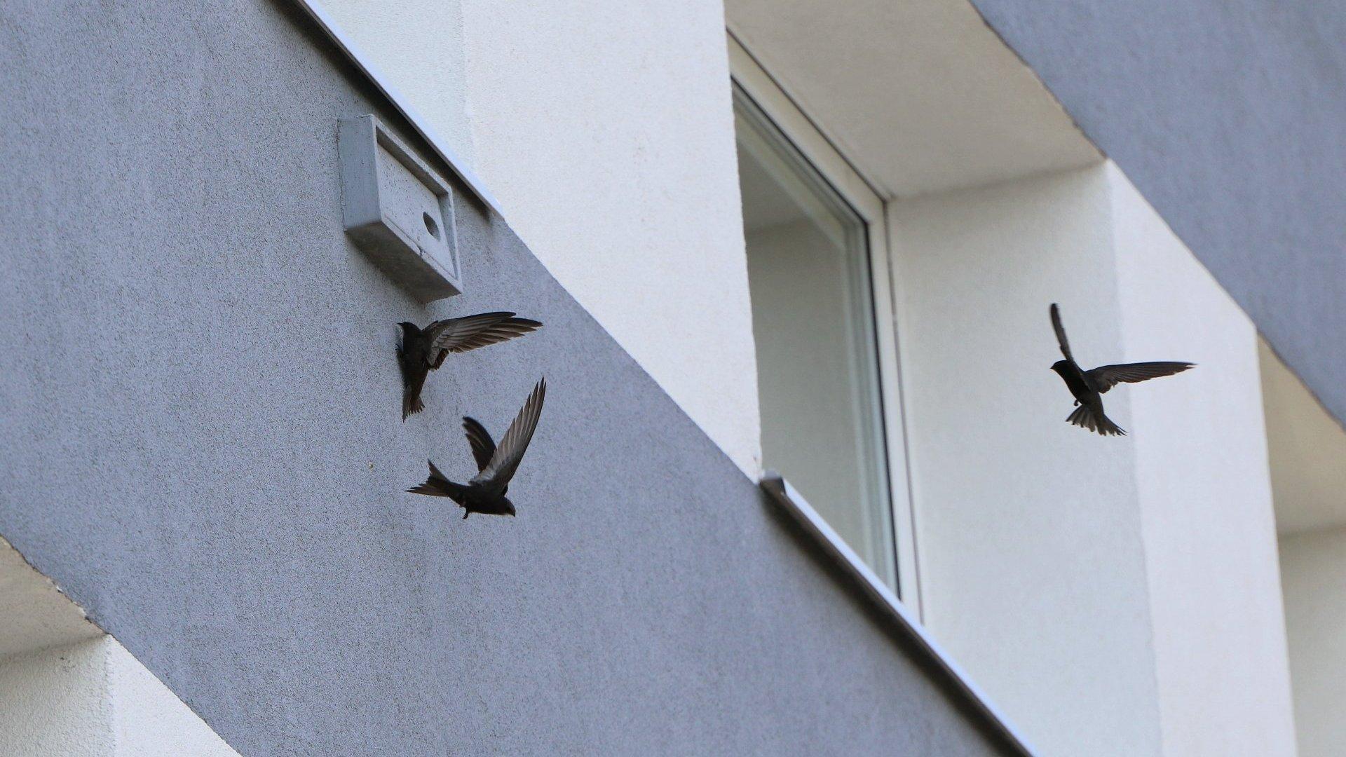 Poznaniacy witają jerzyki