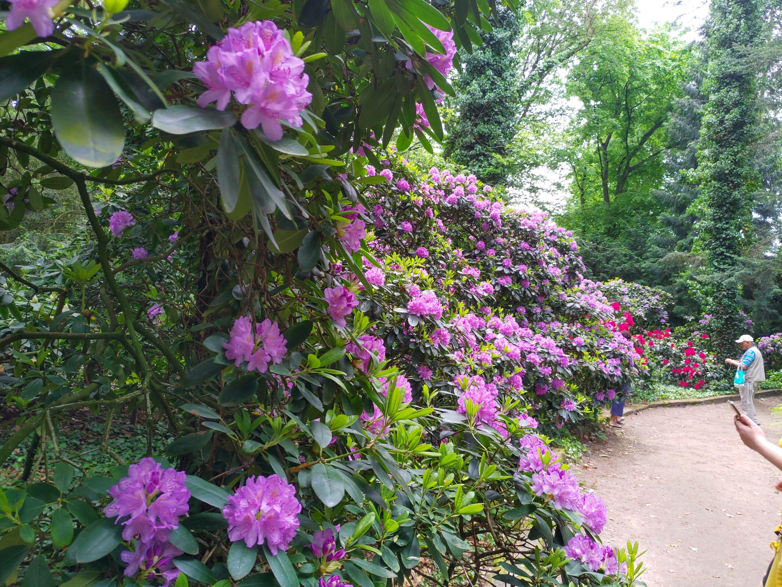 Różaneczniki i lilaki w Arboretum Kórnickim przyciągają turystów