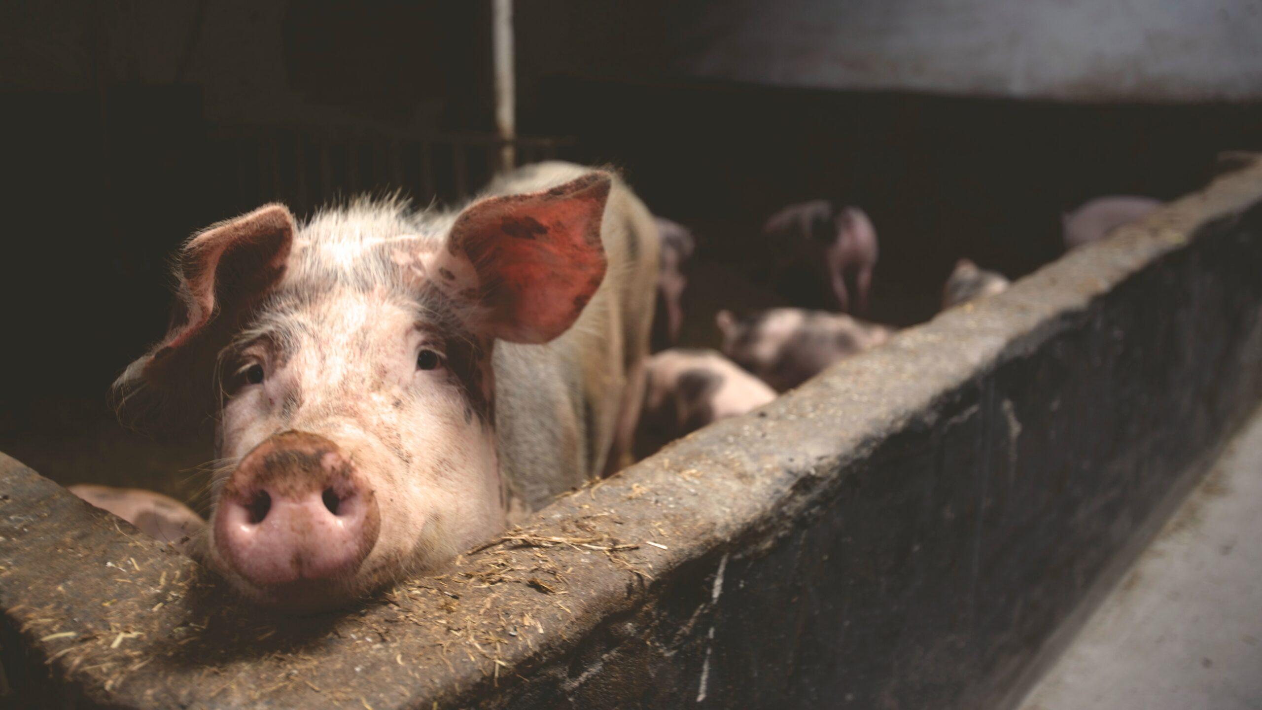 Organizacje prozwierzęce chcą zakazu transportu żywych zwierząt na duże odległości