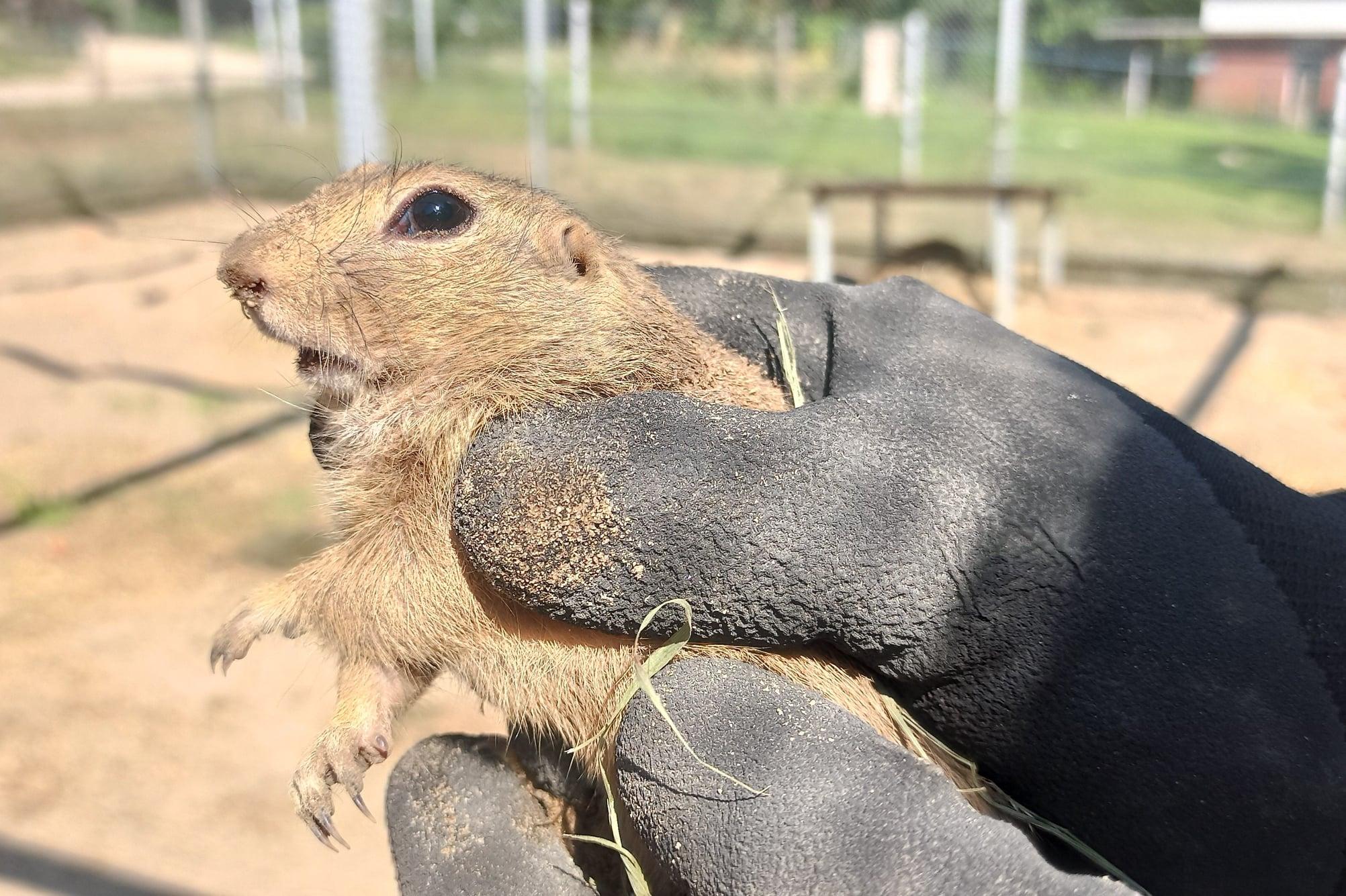 Już kilkadziesiąt susłów z Zoo Poznań wypuszczono na wolność
