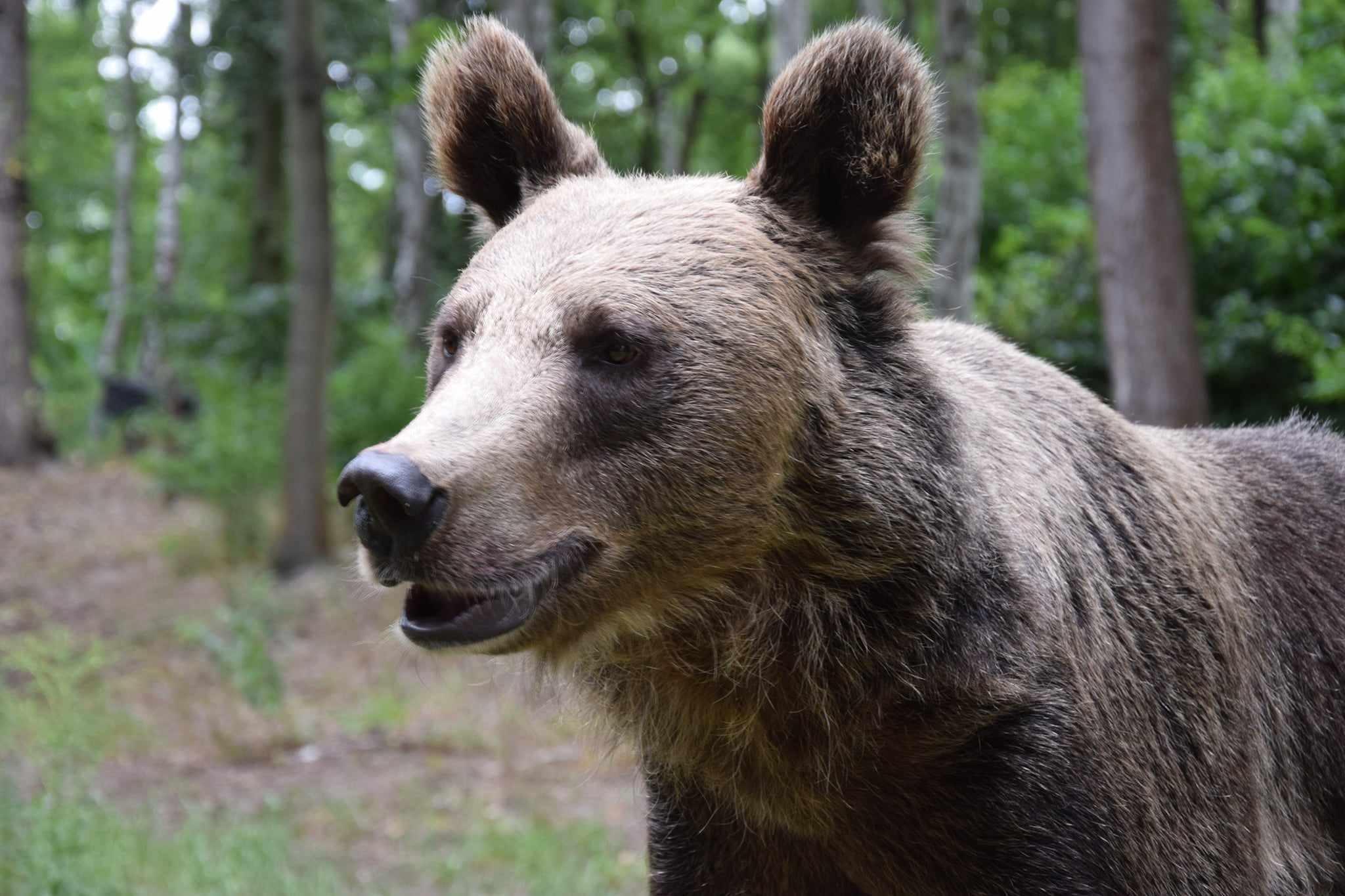 """Poznańskie niedźwiedzie przygotowują się do zimy. Można im pomóc w zwiększaniu """"sadełka"""""""