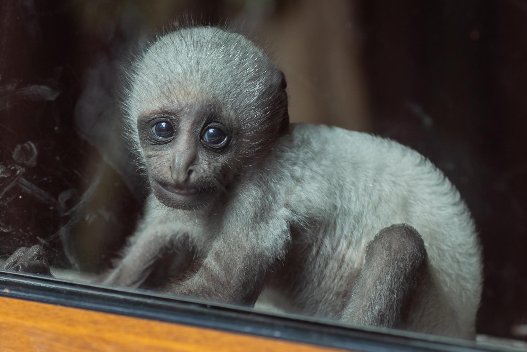 Zoo Poznań jednym z 8 w Europie podtrzymujących populację gerezy białobrodej