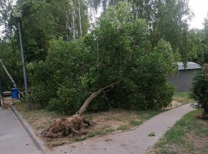 Drzewo wyrwane z korzeniami. Sprawcą okazał się kierowca dźwigu