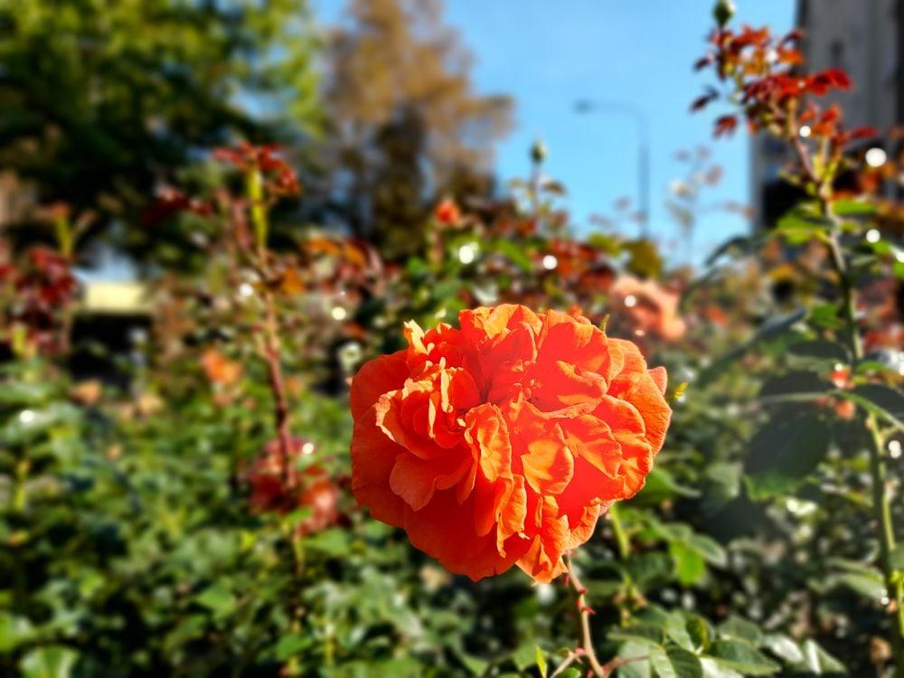 W pasach drogowych w mieście zakwitły jesienne róże
