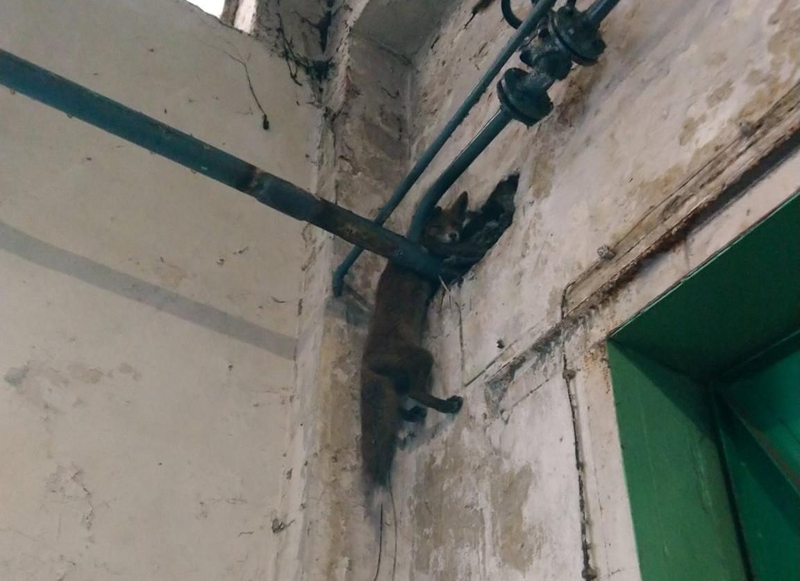 Lis wszedł do budynku i zaklinował się kilka metrów nad ziemią